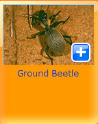 ground beetel