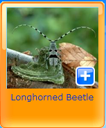 longhorned beetel