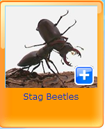 stag beetels