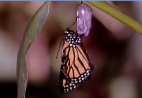 butterfly emerges